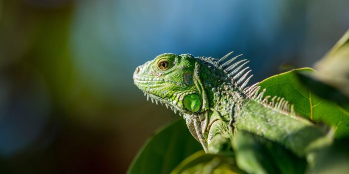Protecting The Iguana In Costa Rica